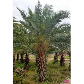 上一个 下一个 >> 中东海枣 产品类型:绿化苗木 -> 棕榈植物 ->