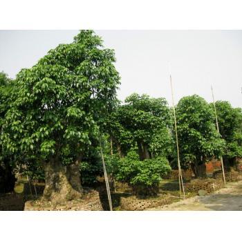下一个 >> 秋枫头,重阳木 产品类型:造型树 -> 造型树 -> 羽毛枫 更新