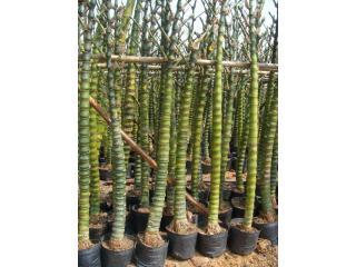 高: m 数量:  单位:  更新时间:2010-04-15 产品描述 竹,属于单子叶图片